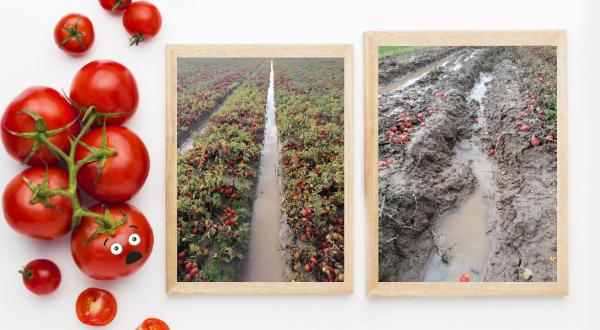 Point récolte tomates françaises